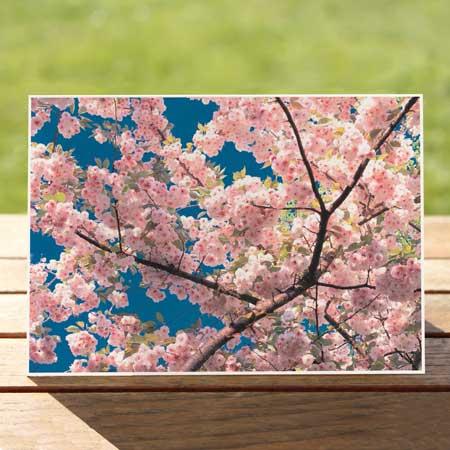 97311-flowering-cherry