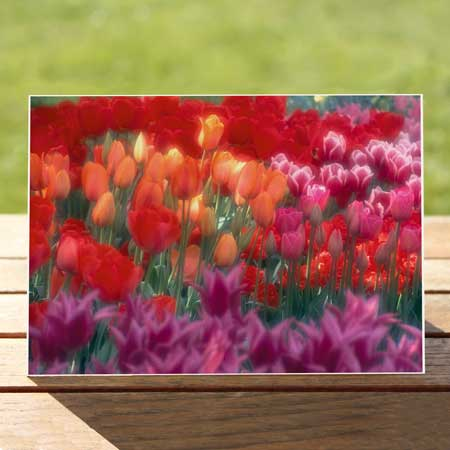 97377-tulip-garden