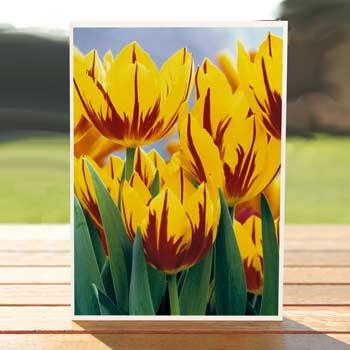 97432-vibrant-tulips-card