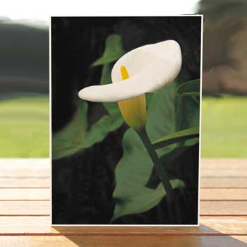 97475-calla-lily-sypathycard