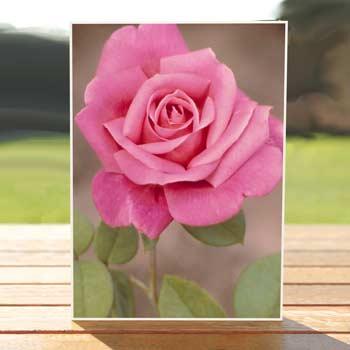 97488-ecclesia-rose-card