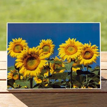 97489-sunflowers-birthdaycard