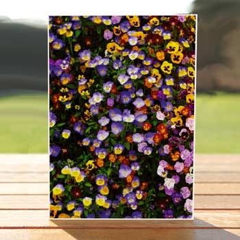97502-pansies-flowers-birthdaycard