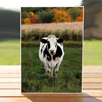 97557-Bessie-cow-birthdaycard