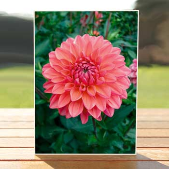 97579-pink-dahlia-birthdaycard