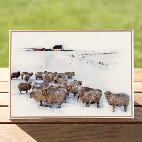 97487-sheep-winter-birthdaycard