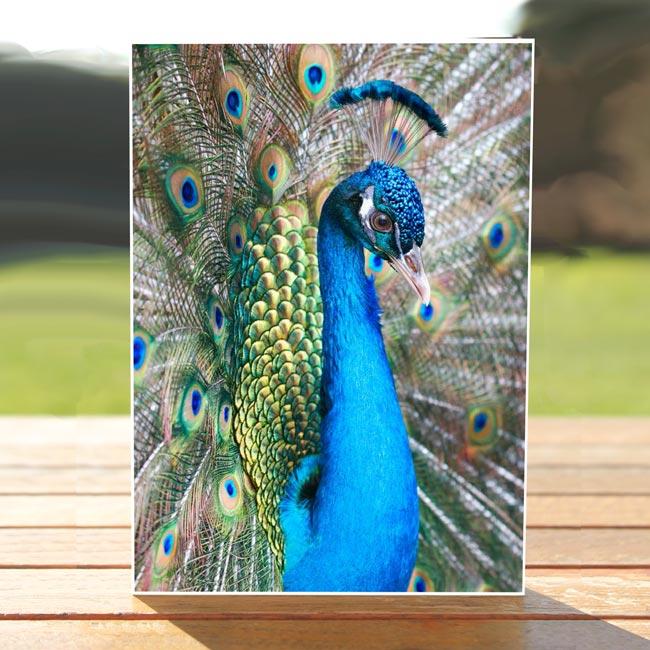 97627-Peacock-greetingcard