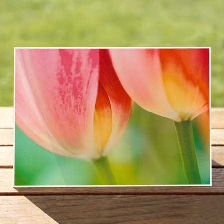 97422-pink-tulips